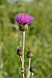 Cirsium heterophyllum - villohakas.jpg