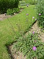 Cirsium tuberosum 'Tuberous Thistle' (Compositae) plant.JPG