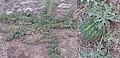 Citrullus lanatus afghan melon.jpg