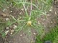 Cladanthus arabicus (Compositae) leaves.JPG