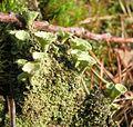 Cladonia-fimbriata(Trompetenflechte)1.jpg