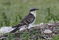 Clamator glandarius - Great Spotted Cuckoo.jpg