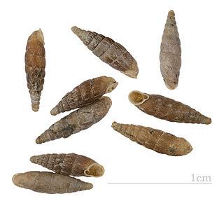 <i>Clausilia</i> genus of molluscs
