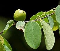 Cleistanthus collinus (Garari) in Narsapur forest, AP W IMG 0166