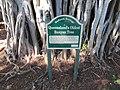 Cleveland East oldest banyan tree 1.jpg