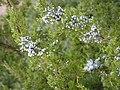 Cliff Shelf Nature Trail PA090096 Juniper berries.JPG
