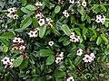 Climbing Oleander(Strophanthus gratus) 18.jpg