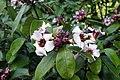 Climbing Oleander(Strophanthus gratus) 4244.jpg