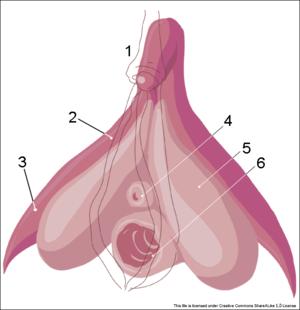 Der frau bei ist wo kitzler der Klitoris: Mit