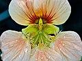 Close-up of Tropaeolum majus flowers droplets -20190830-RM-081005.jpg