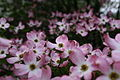 Closeup-white-pink-spring-flowers - West Virginia - ForestWander.jpg