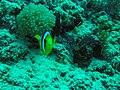 Clownfish Nemo (29581007846).jpg