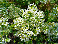 Cochlearia officinalis 002