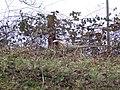 Cock pheasant near Edmondsham - geograph.org.uk - 372826.jpg