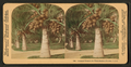 Cocoanut (coconut) trees in the white sands of Florida, U.S.A, from Robert N. Dennis collection of stereoscopic views 12.png