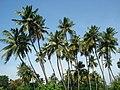 Coconut palms,tiruvarur,tamilnadu - panoramio.jpg