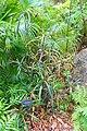 Codiaeum variegatum 'Majesticum' - McKee Botanical Garden - Vero Beach, Florida - DSC03175.jpg