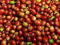 Coffee berries harvest in Anaimalai Hills, Southern Western Ghats P1110963.jpg