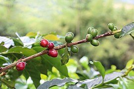 Coffee berries in Hacienda Guayabal, Colombia.jpg