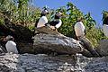Colonie de macareux moines sur la falaise.JPG