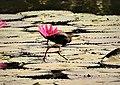 Comb-crested Jacana. Irediparra galinacea (48623860852).jpg