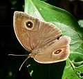 Common Bushbrown. Mycalesis perseus - Flickr - gailhampshire.jpg