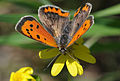 Common Copper butterfly - Lycaena phlaeas.jpg