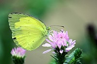Common Grass Yellow (Eurema hecabe).JPG