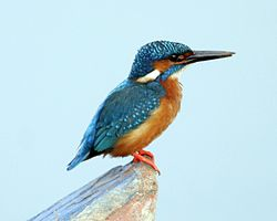 Common Kingfisher (Alcedo atthis taprobana) - Male - Flickr - Lip Kee.jpg