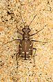Common Shore Tiger Beetle - Cicindela repanda, Chapel Point State Park, Port Tobacco, Maryland.jpg