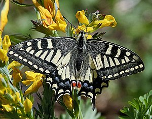 Great Himalayan National Park - Image: Common Yellow Swallowtail Papilio machaon I IMG 6962