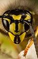 Common wasp or Yellowjacket- Vespula vulgaris -.jpg
