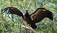 Condor (6035265944).jpg