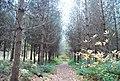 Conifers, Powdermills Wood - geograph.org.uk - 2187768.jpg