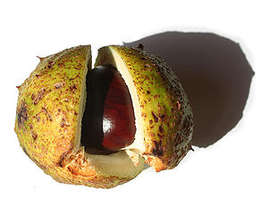 Photograph of a conker in it's shell, partiall...