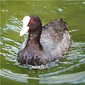 Coot on River Bure - geograph.org.uk - 449579.jpg