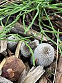 Coprinopsis lagopus 97494924.jpg