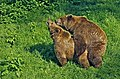 Copulating pair of brown bears edit.jpg