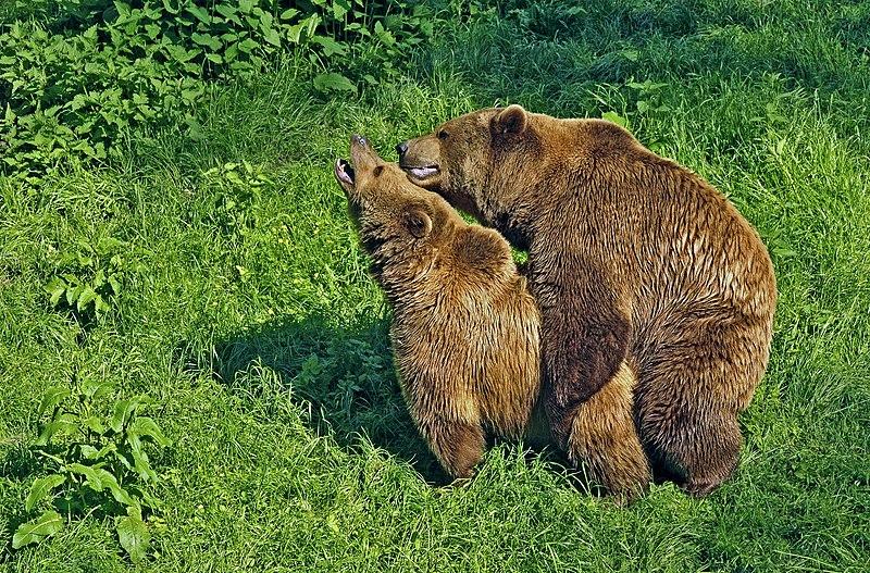 File:Copulating pair of brown bears edit.jpg