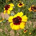 Coreopsis tinctoria 3.jpg