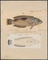 Coris cingulum - 1700-1880 - Print - Iconographia Zoologica - Special Collections University of Amsterdam - UBA01 IZ13900161.tif