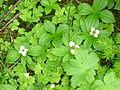 Cornus canadensis.jpg