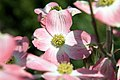 Cornus florida var. rubra Cherokee Brave 5zz.jpg