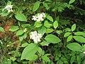 Cornus sericea ssp sericea 1-eheep (5098089954).jpg