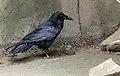 Corvus brachyrhynchos zoo.jpg
