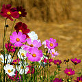 Cosmos flowers in Thailand 02.jpg