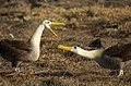 Courting Waved Albatross (6519212753).jpg