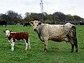 Cow and calf (34124582650).jpg