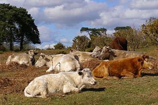 Hovädzí dobytok