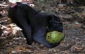 Crested Macaque Macaca nigra (7911467354).jpg